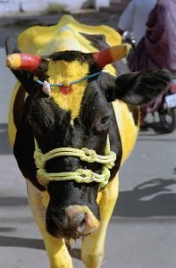 Holy Cow during Pongal in India